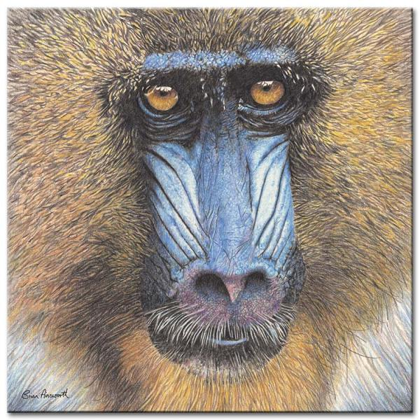 Mandrill Baboon Brian Ainsworth Prints And Canvas