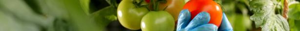 Proizvodnja paradajza