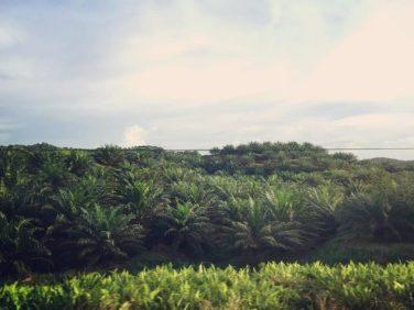 Plantaciones de palma