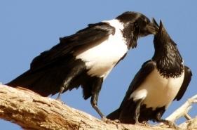 Nein: Krähen hacken einander keine Augen aus.         Sie füttern sich gegenseitig.        Bild: © dido-ob / PIXELIO