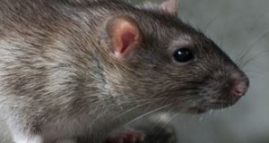 Hire- Mouse- Traps- In -Middleton