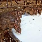 Rat traps in Bury