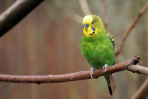 Parakeet on branch tree