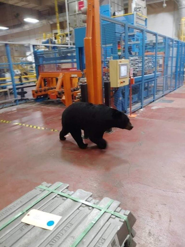 OSHA fail: photo of a black bear walking through a warehouse.