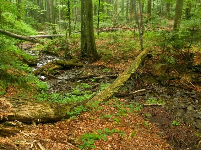 Буковые леса