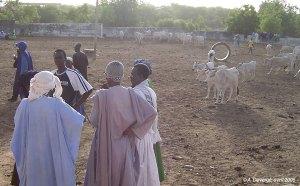 Vente de bétail dans le daral bovin de Tambacounda