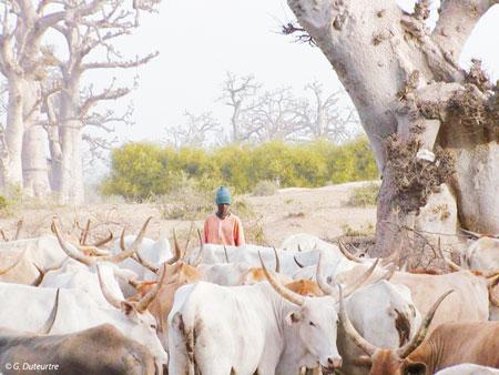 Sénégal-Les territoires de l'élevage-Peut-on cartographier le cheptel national ?-Un éleveur et son troupeau vers Thiès