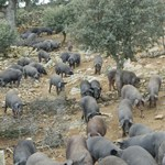 cerdo iberico, dehesa