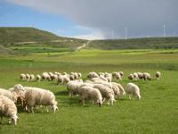 rebaño-ovejas