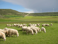 rebaño-ovejas1