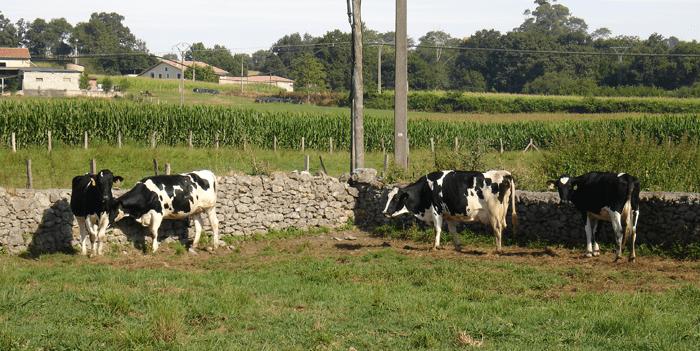 vacas-en-patio