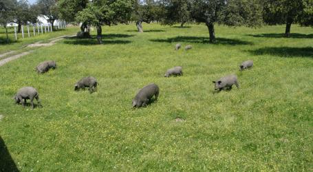El Gobierno aprueba ayudas por valor de 10 millones de euros para el porcino ibérico