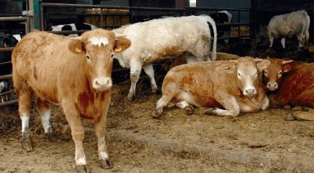 Repercusión del Virus de la Diarrea Vírica Bovina (BVDV) en el cebo de terneros