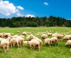 "El sector del ovino asegura que sale ""airoso"" del primer año de covid siendo ""proactivo"""