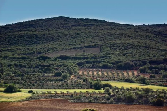 Olivares en la Sierra de Altomira