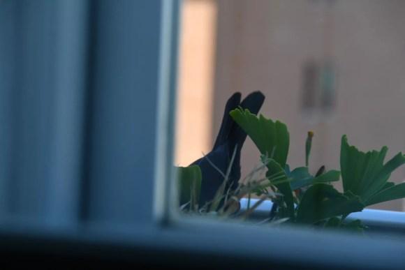 Mirlo en la jardinera visto desde la ventana