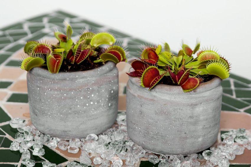 fleischfressende pflanzen fruchtfliegen
