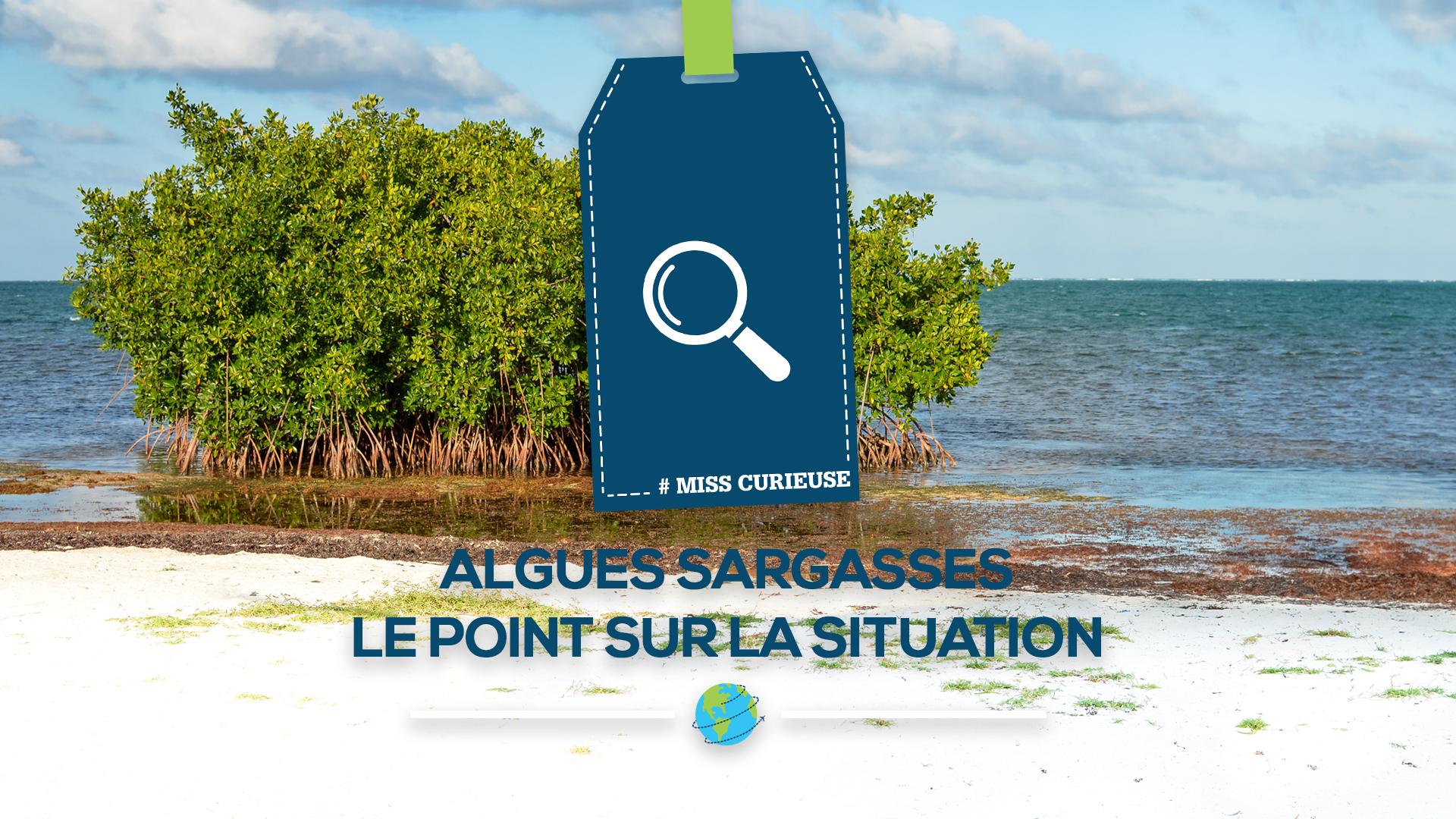 MissCurieuse Algues Sargasses On Fait Le Point Sur La
