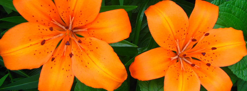 Download Wise Quotes Wallpapers Orange Lilies Facebook Cover