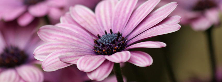 Pretty Wallpapers Fall Purple Daisy Facebook Cover