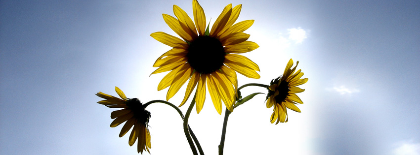 Sunflower Wallpaper With Quote Yellow Sunflowers Facebook Cover