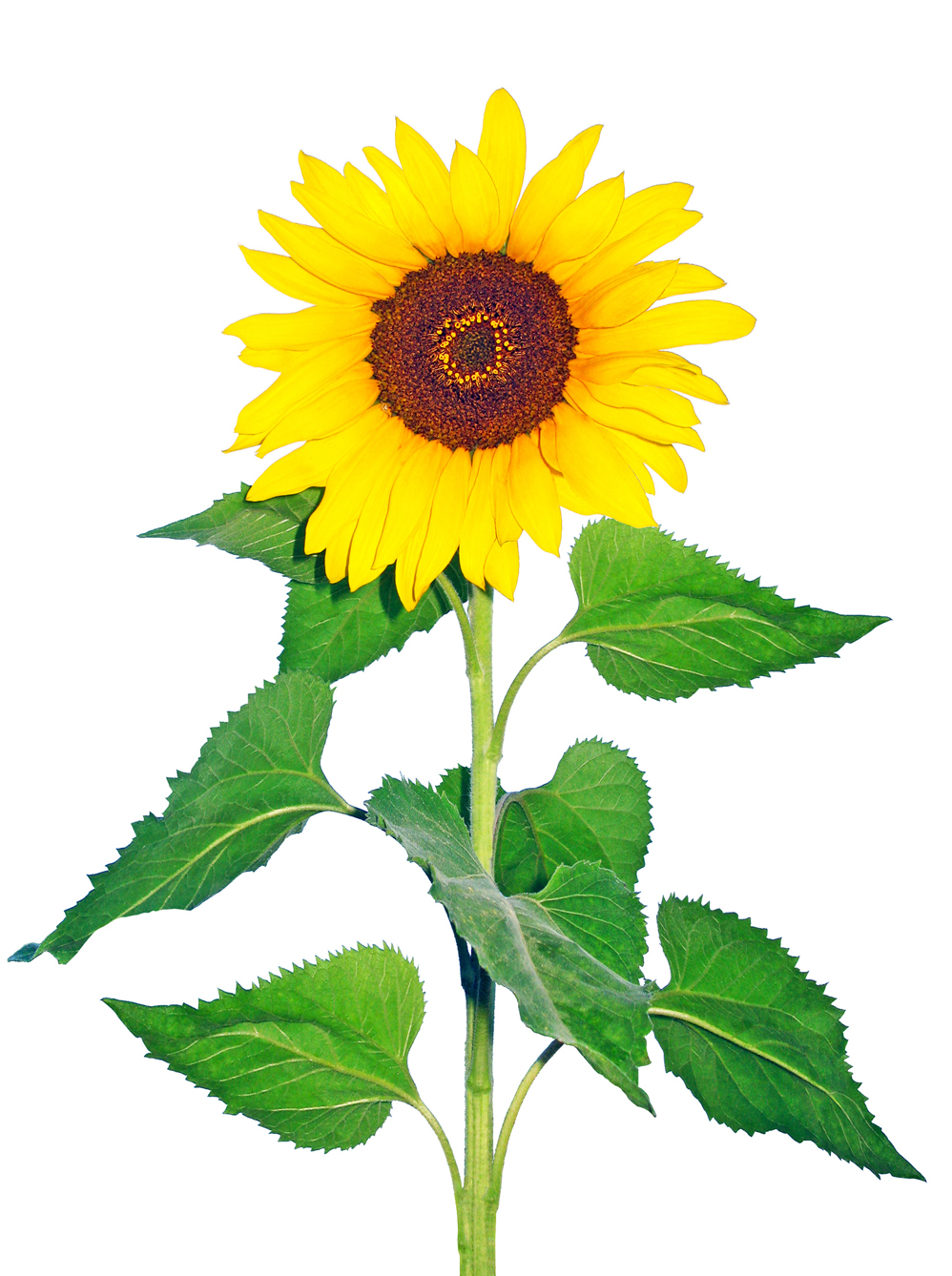 hight resolution of sunflower jpg