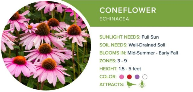 best perennials for sun coneflower