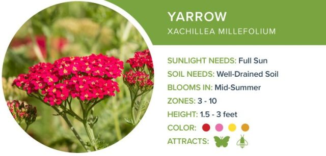 yarrow best perennials