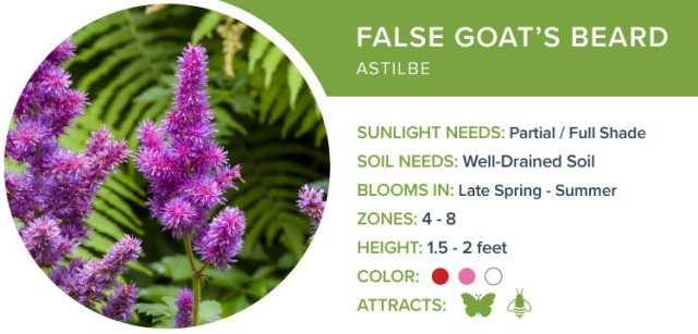 false goats beard best perennials