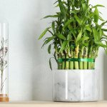 Lucky Bamboo Care Guide Growing Tips Facts Proflowers Blog