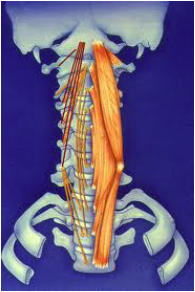chaines musculaires proformed formations médicales