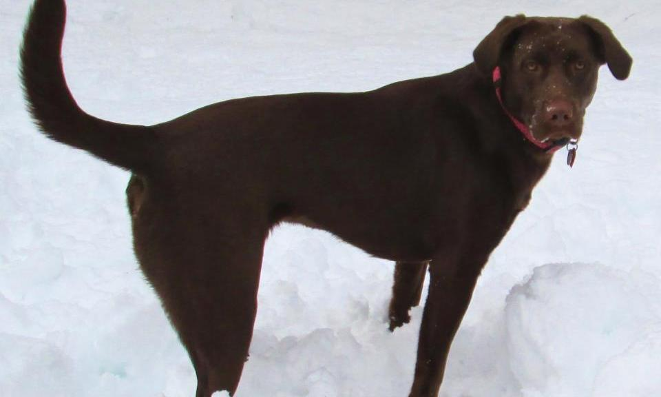 Chocolate lab playing in snow