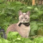 Felice, tonkinese kitty in garden