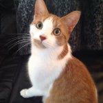 Gus Bennett 4, orange and white kitty