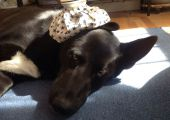 Merlin, dog with ice pack on head
