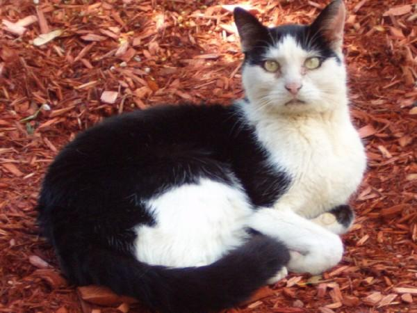 Ricky, black and white cat