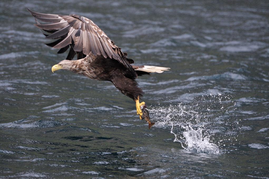Vultur pescuind