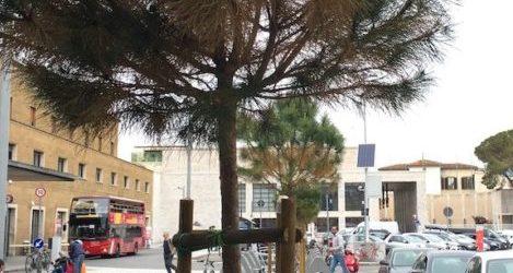 Nuovi pini in piazza della Stazione a Firenze: appena piantati e già in sofferenza