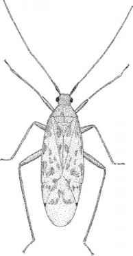 Order Hemiptera True Bugs1  Infested Plants  Progressive