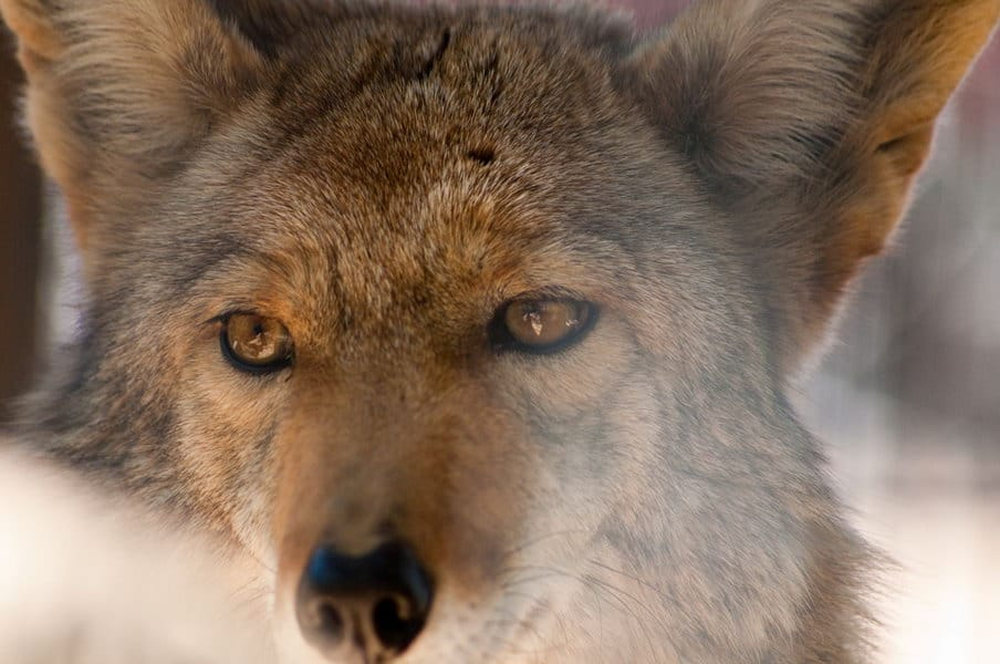 How to Hunt Coyotes - Coyote Hunting Tips