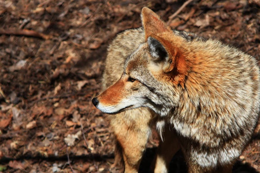 How to Hunt Coyotes - Coyote Hunting Guide
