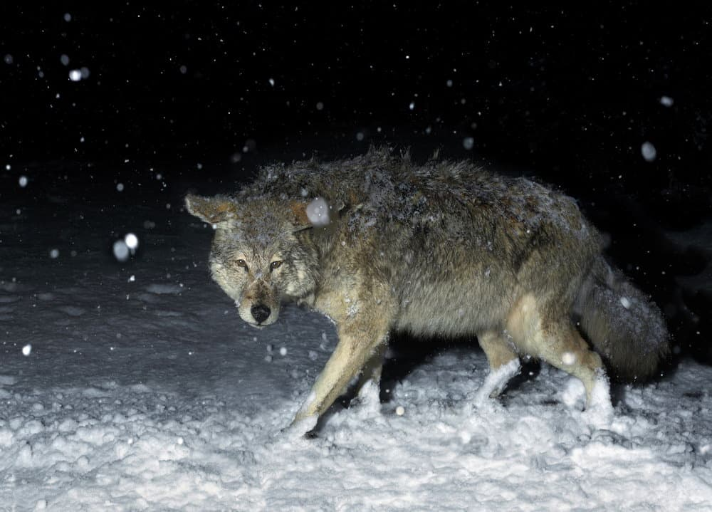 How to Hunt Coyotes at Night - Coyote Hunting at Night - proHuntingHacks