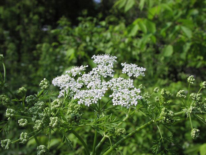 Κώνειο: Το διασημότερο δηλητηριώδες φυτό - Προϊόντα της Φύσης