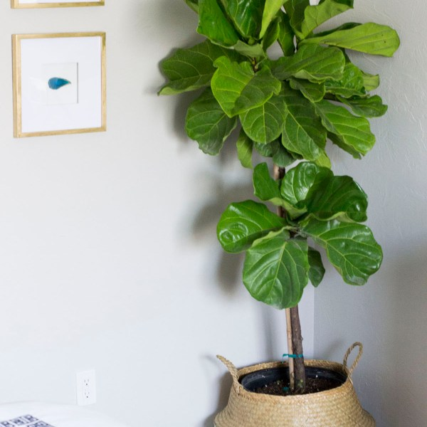 How To Keep A Fiddle Leaf Fig Alive