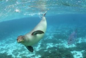 HawaiianMonkSeal_JamesWatt_SeaPicsCropped_0_0