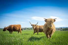 Livestock - Scottish Highlands
