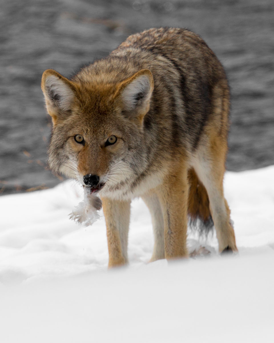 Images coyotes and coyotes hunting in tandem by matt knoth via - Above Photo Coyote Along The Firehole River With Feathers In Mouth By Neal Herbert For Yellowstone National Park