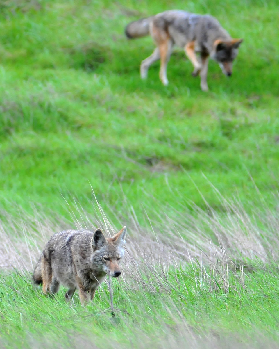 Images coyotes and coyotes hunting in tandem by matt knoth via creative commons