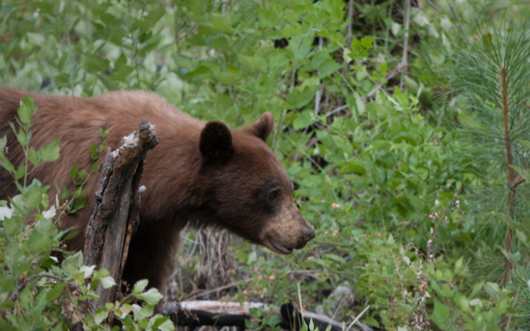 URGENT CALL FOR HELP: Protect Predators in Alaska National Wildlife Refuges!