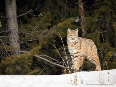 Bobcat at the Forest Edge